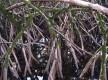 La mangrove du littoral à l'embouchure du Mahury