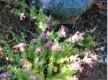 Sentier Botanique - Pietracorbara© - Cap Corse Capicorsu
